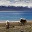 Yaks on Namtso Lake in Tibet
