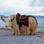 Yak at Namtso Tibet