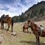 Horses for rent at Sonamarg, Kashmir - India