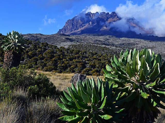 Giant Groundsel on Kilimanjaro Climb